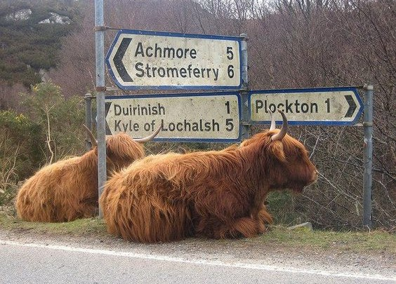 plockton cows